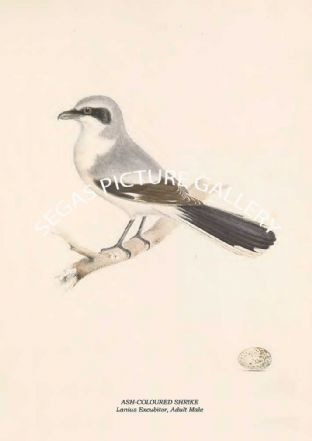 ASH-COLOURED SHRIKE - Lanius Excubitor